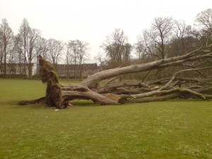 tree failed at root plate - tree law accident investigation
